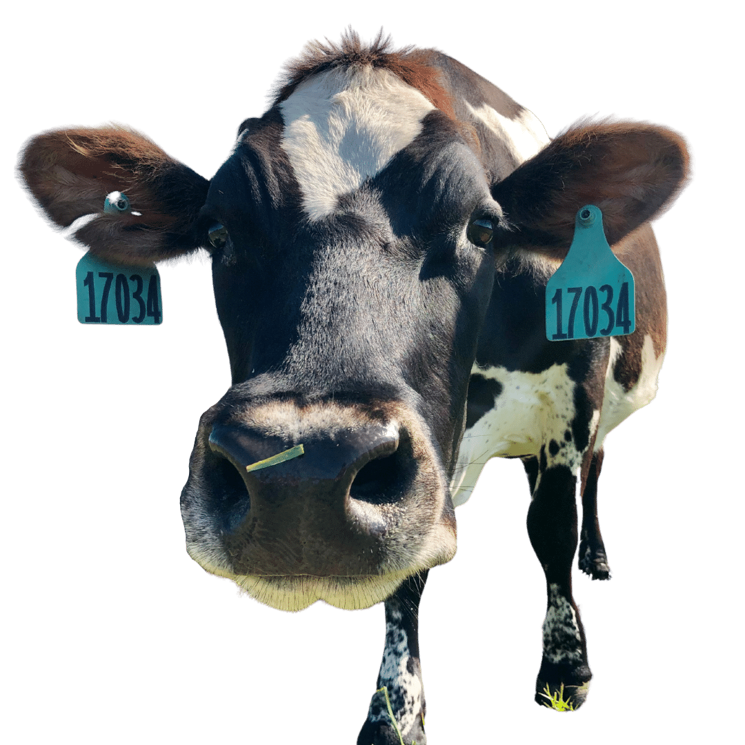 Hart Dairy cow